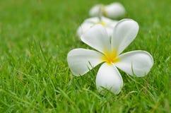 Plumeria flower. Plumeria (frangipani) flowers on the grass background Stock Photo