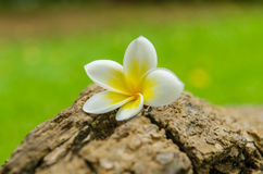 Plumeria flower or Frangipani tropical flower. Arranged on plumeria tree Stock Photo