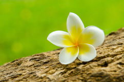 Plumeria flower or Frangipani tropical flower. Arranged on plumeria tree Stock Photos