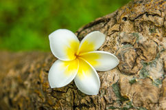Plumeria flower or Frangipani tropical flower. Arranged on plumeria tree Stock Images