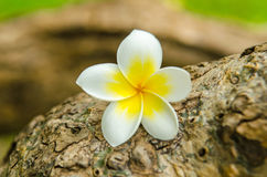 Plumeria flower or Frangipani tropical flower. Put on tree Royalty Free Stock Photos
