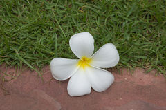 Plumeria flower. On grass field Stock Photos