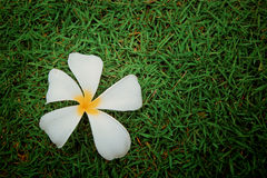 Plumeria flower on grass Stock Photos