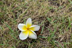 Plumeria flower on grass. White Plumeria flower on grass Stock Photos