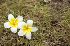 Plumeria flower on grass Royalty Free Stock Photography