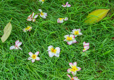 Plumeria flower on green grass field Royalty Free Stock Images