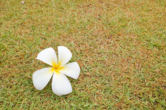 Plumeria flower on green grass. White plumeria flower on green grass background stock images