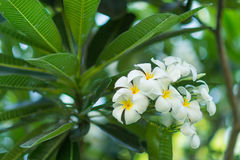 The Plumeria flower Royalty Free Stock Images
