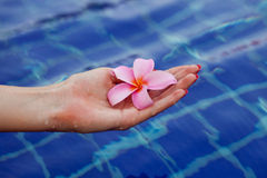 Plumeria flower in hands Stock Photos
