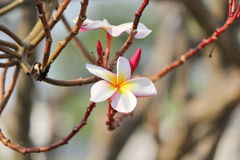 Plumeria flower. Have colorful and as pointed petals Stock Photo