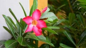 Plumeria flower stock video