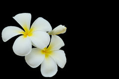 Plumeria flower isolated on black backgroud with copy space Stock Photos