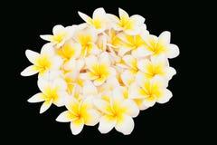 Plumeria flower isolated Royalty Free Stock Image