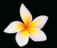 Plumeria flower isolated Stock Images