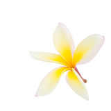 Plumeria flower isolated Stock Image