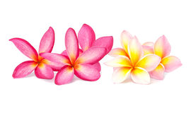 Plumeria flower isolated Royalty Free Stock Photography