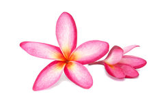 Plumeria flower isolated Royalty Free Stock Images