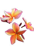 Plumeria flower isolated on White Royalty Free Stock Images