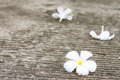 Plumeria flower lay on concrete floor Royalty Free Stock Images