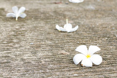 Plumeria flower lay on concrete floor Royalty Free Stock Image