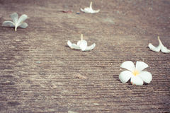 Plumeria flower lay on concrete floor Stock Images