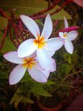 Plumeria. Flower Leelawadee Nature Stock Photos