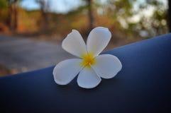 Plumeria flower on motorcycle seat stock photo