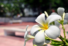 Plumeria. Flower native from South America Royalty Free Stock Photo