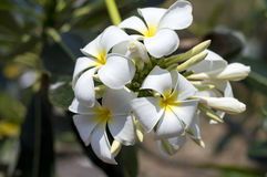 Plumeria flower Royalty Free Stock Photography