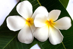 Plumeria flower with nature background to create a beautiful Royalty Free Stock Photos