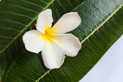 Plumeria flower with nature background to create a beautiful Stock Photo