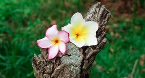 Plumeria flower. Flower plumeria on old timber Royalty Free Stock Photos