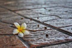 Plumeria flower on paved road stock image