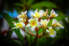 Plumeria Flower Royalty Free Stock Images