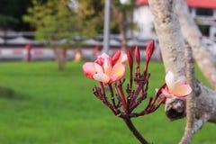 Plumeria flower pink or desert rose beautiful tree Royalty Free Stock Photography