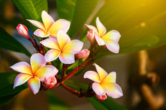Plumeria flower pink and white frangipani tropical flower, plume. Ria flower blooming on tree, spa flower Stock Photography