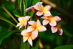 Plumeria flower pink and white frangipani tropical flower, plume. Ria flower blooming on tree, spa flower Stock Images