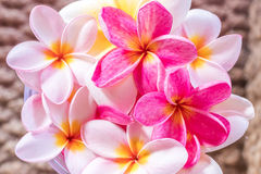 Plumeria flower pink and white frangipani tropical flower, plumeria flower bloominge, spa flower, Bali island. Royalty Free Stock Photos
