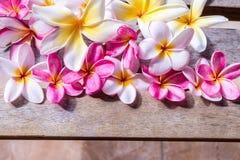 Plumeria flower pink and white frangipani tropical flower, plumeria flower bloominge, spa flower, Bali island. Royalty Free Stock Image