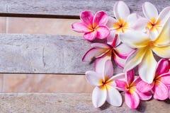 Plumeria flower pink and white frangipani tropical flower, plumeria flower bloominge, spa flower, Bali island. Stock Photo