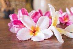 Plumeria flower pink and white frangipani tropical flower, plumeria flower bloominge, spa flower, Bali island. Stock Photos