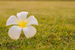 Plumeria Flower placed on the lawn. Photos Plumeria Flower on the lawn next to the house near the sun goes down Stock Photo