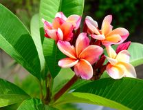 Plumeria flower on plant in sunlight. Plumeria flowers blooming on a plumeria plant. Outside in daylight stock images