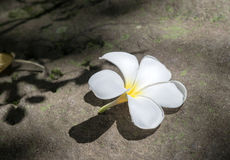Plumeria flower  on rock background. Close-up Tropical flowers frangipani on stone Royalty Free Stock Photography