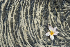 Plumeria flower on sandy lava rock Royalty Free Stock Photography