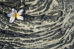 Plumeria flower on sandy lava rock. Background, space for copy Royalty Free Stock Photos