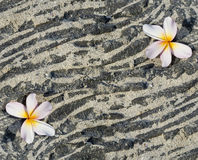 Plumeria flower on sandy lava rock. Background, space for copy Stock Image