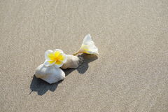 Plumeria flower and sea shell Stock Images