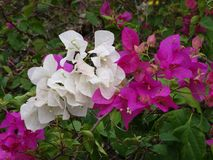 Bougainvillea mexico vertical purple flora puerto perennial. Plumeria - the flower of South East Asia royalty free stock image