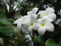 Plumeria. The flower of South East Asia stock photography